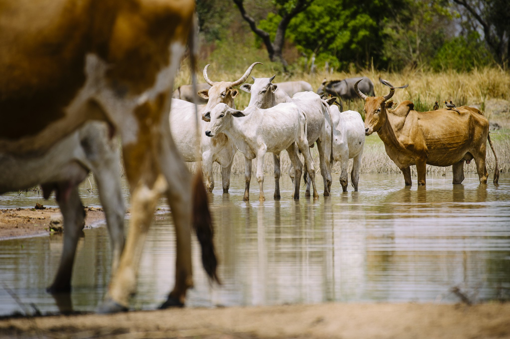 Cattle cool down in a reservoir, often the last water point during the hottest and driest months of the year, in Zorro village, Burkina Faso