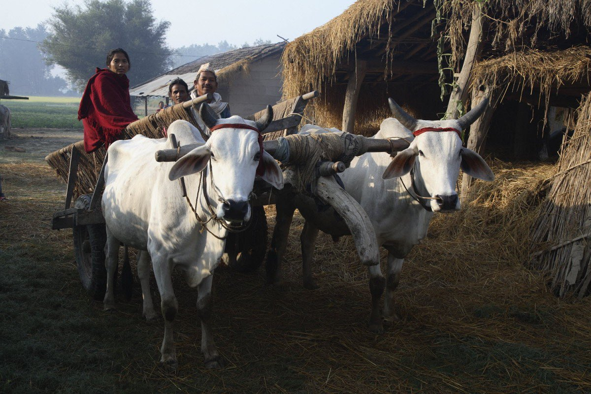 A family leaves for the fields from a Tharu homestead on their bullock cart